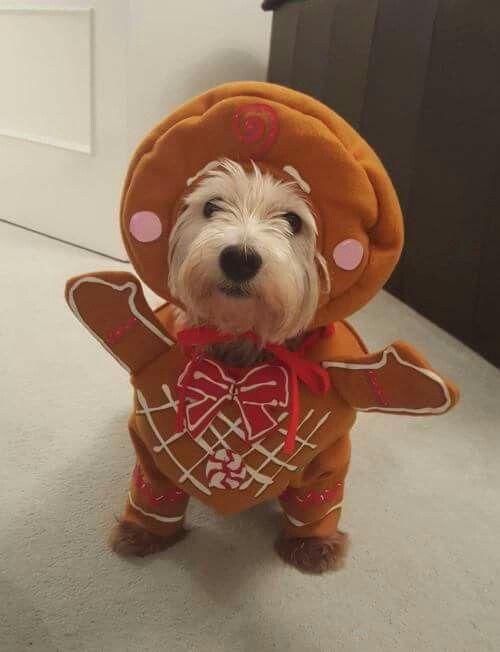 Gingerbread white dog