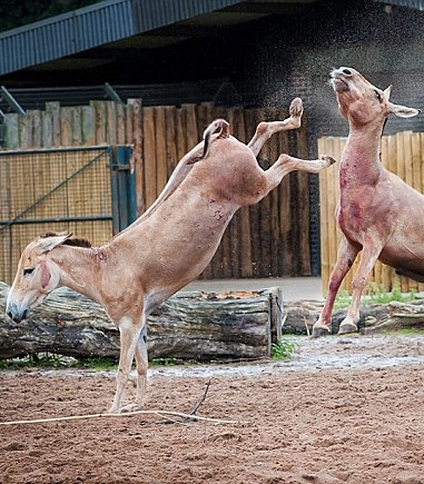 donkey kicking donkey